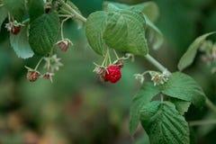 Ραβδωτά κόκκινα σμέουρα μούρων Θερινά φρούτα στοκ φωτογραφίες