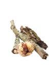 Ραβδί δέντρων με το φλοιό βρύου και το κάστανο αλόγων Στοκ Εικόνα