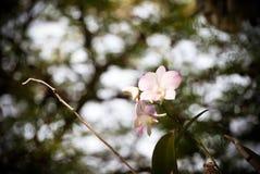 Ραβδωμένο ροζ orchid λουλούδι Στοκ φωτογραφίες με δικαίωμα ελεύθερης χρήσης