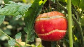 Ραγισμένη υπομονετική ντομάτα Στοκ φωτογραφίες με δικαίωμα ελεύθερης χρήσης