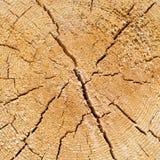 Ραγισμένος κορμός πεύκο-δέντρων στη διατομή στοκ φωτογραφία με δικαίωμα ελεύθερης χρήσης