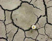 ραγισμένο έδαφος μαργαριτών Στοκ φωτογραφία με δικαίωμα ελεύθερης χρήσης