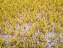Ραγισμένο χώμα σε έναν ξηρό τομέα ορυζώνα Αιτία με την παγκόσμια αύξηση της θερμοκρασίας λόγω του φαινομένου του θερμοκηπίου Στοκ Εικόνα