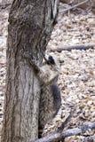 Ρακούν που αναρριχείται σε ένα δέντρο Στοκ εικόνα με δικαίωμα ελεύθερης χρήσης