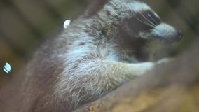 Ρακούν στο ζωολογικό κήπο απόθεμα βίντεο