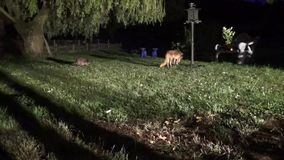 Ρακούν χωρίς τύχη - η κυρίαρχη αλεπού τον οδηγεί μακρυά από τον πύργο σίτισης απόθεμα βίντεο