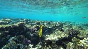 Ρακούν butterflyfish στη Ερυθρά Θάλασσα, Αίγυπτος φιλμ μικρού μήκους