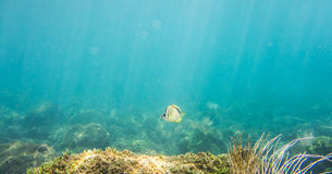 Ρακούν Butterflyfish Στοκ εικόνες με δικαίωμα ελεύθερης χρήσης
