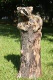 ρακούν taxidermy στοκ φωτογραφίες