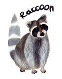 Ρακούν Watercolor Στοκ εικόνα με δικαίωμα ελεύθερης χρήσης
