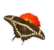 Ραχιαία άποψη του papilio Cresphontes, γιγαντιαία πεταλούδα Swallowtail Στοκ φωτογραφία με δικαίωμα ελεύθερης χρήσης
