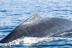 Ραχιαίο πτερύγιο φαλαινών Humpback στην επιφάνεια Στοκ Φωτογραφίες