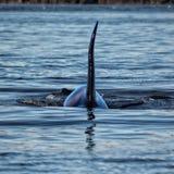 Ραχιαίο πτερύγιο Orca στοκ φωτογραφία με δικαίωμα ελεύθερης χρήσης