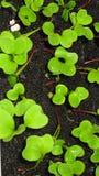 Ραδίκια σποροφύτων στο έδαφος Στοκ Εικόνες