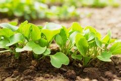 Ραδίκια στον κήπο Στοκ εικόνες με δικαίωμα ελεύθερης χρήσης
