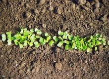 Ραδίκια στον κήπο Στοκ εικόνα με δικαίωμα ελεύθερης χρήσης