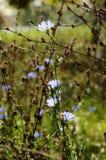 Ραδίκι, μπλε λουλούδια λιβαδιών Στοκ Εικόνες