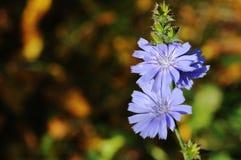 Ραδίκι, μπλε λουλούδι λιβαδιών Στοκ Εικόνες