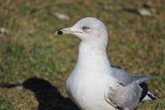 Ραδιουργώντας seagull κοιτάζει Στοκ Φωτογραφίες