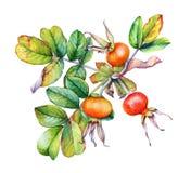 Ρεαλιστική απεικόνιση Watercolor των rosehip WI κλάδων εγκαταστάσεων απεικόνιση αποθεμάτων