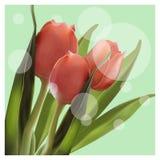 Ρεαλιστική τουλίπα λουλουδιών Τουλίπα διανυσματικό eps 10 ελεύθερη απεικόνιση δικαιώματος
