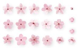 Ρεαλιστικό άνθος sakura ή κερασιών  Ιαπωνικό λουλούδι Sakura ανοίξεων  Ρόδινο λουλούδι κερασιών διανυσματική απεικόνιση
