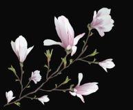 Ρεαλιστικό λουλούδι Magnolia που απομονώνεται στο μαύρο υπόβαθρο Κλάδος Magnolia - ένα σύμβολο της άνοιξης, καλοκαίρι, θηλυκή γοη ελεύθερη απεικόνιση δικαιώματος
