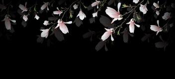Ρεαλιστικό λουλούδι Magnolia που απομονώνεται στο μαύρο υπόβαθρο Ο κλάδος Magnolia είναι ένα σύμβολο της άνοιξης, καλοκαίρι, θηλυ απεικόνιση αποθεμάτων