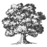 Ρεαλιστικό σκίτσο απεικόνισης δέντρων συρμένο χέρι διανυσματικό Στοκ φωτογραφία με δικαίωμα ελεύθερης χρήσης