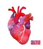 Ρεαλιστική καρδιά watercolor επίσης corel σύρετε το διάνυσμα απεικόνισης Σχέδιο άνοιξης ή καλοκαιριού Στοκ Φωτογραφίες
