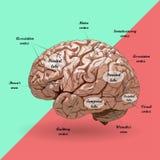 Ρεαλιστικός ανθρώπινος εγκέφαλος, σχέδιο Στοκ Εικόνες