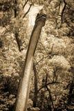 Ρεαλιστικό πρότυπο Brachiosaurus Στοκ εικόνες με δικαίωμα ελεύθερης χρήσης