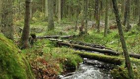 Ρεύμα στο πράσινο δάσος απόθεμα βίντεο
