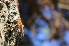 Ρητίνη πεύκων Στοκ Φωτογραφία