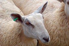 ρηχά πρόβατα πορτρέτου εστίασης πεδίων ματιών βάθους Στοκ Εικόνα