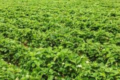Ρηχό βάθος της φωτογραφίας τομέων - strawaberry τομείς, με το unripe φ στοκ φωτογραφίες