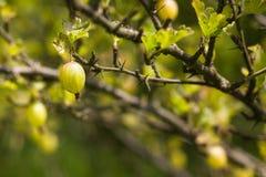 Ριβήσιο σε έναν θάμνο στον κήπο Στοκ φωτογραφίες με δικαίωμα ελεύθερης χρήσης
