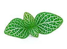 Ριγωτά διακοσμητικά φυτά φύλλων istolate στο λευκό στοκ εικόνες