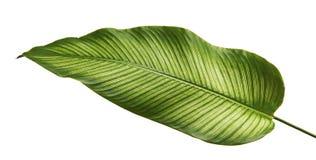 Ριγωτά φύλλα Calathea ornata Calathea Στοκ Εικόνες