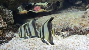 ριγωτά ψάρια από τα κινούμενα σχέδια Nemo Στοκ φωτογραφία με δικαίωμα ελεύθερης χρήσης