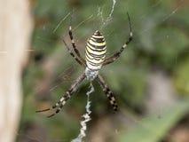 Ριγωτή αράχνη Στοκ Εικόνα