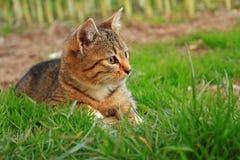 Ριγωτή γάτα στη χλόη Στοκ εικόνα με δικαίωμα ελεύθερης χρήσης