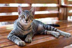 Ριγωτή γάτα τιγρών Στοκ φωτογραφία με δικαίωμα ελεύθερης χρήσης