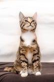 Ριγωτή γάτα Tricolor Στοκ φωτογραφίες με δικαίωμα ελεύθερης χρήσης