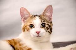 Ριγωτή γάτα Tricolor Στοκ φωτογραφία με δικαίωμα ελεύθερης χρήσης