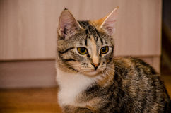 Ριγωτή γάτα Tricolor Στοκ εικόνες με δικαίωμα ελεύθερης χρήσης