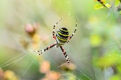 Ριγωτή θηλυκή σφήκα αραχνών Στοκ φωτογραφία με δικαίωμα ελεύθερης χρήσης