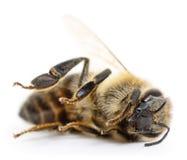 Ριγωτή μέλισσα Στοκ Φωτογραφίες