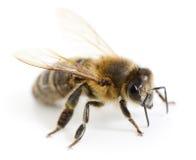 Ριγωτή μέλισσα Στοκ Φωτογραφία