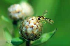Ριγωτή μύγα Στοκ Εικόνες